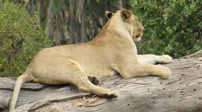 Osäker framtid för det afrikanska lejonet