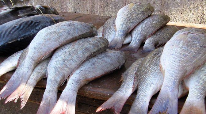 Fet fisk kan minska allergier hos barn